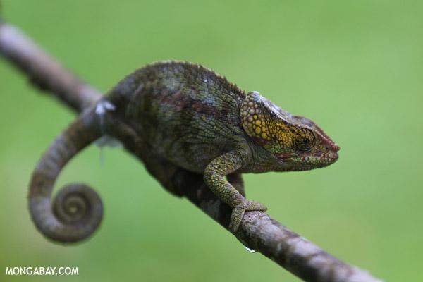 Short-horned chameleon (Calumma brevicornis)
