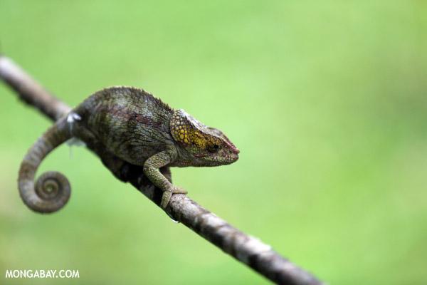 Short-horned chameleon