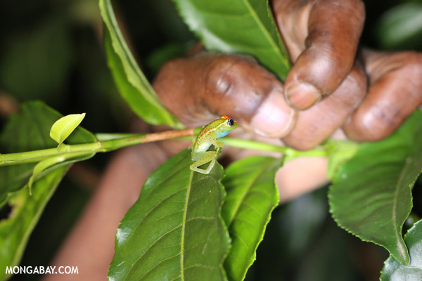 Boophis rappiodes tree frog on an invasive tea plant