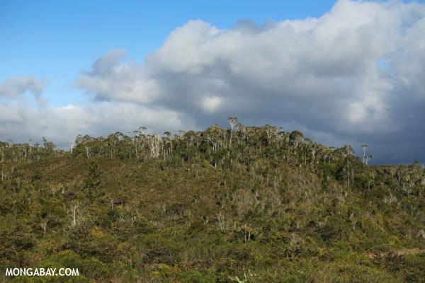 Montane forest in Andasibe-Mantadia National Park along the Sherritt pipeline road
