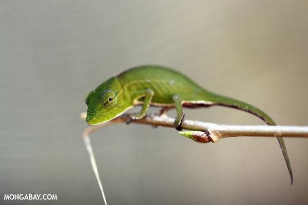 Calumma gastrotaenia chameleon