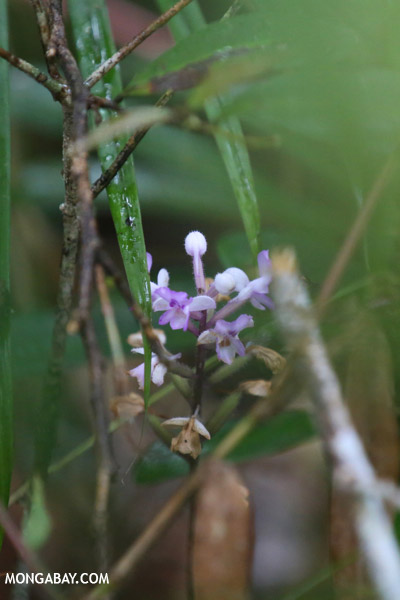 Purple orchid in Madagascar