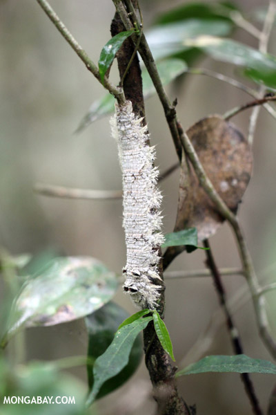 Camouflaged caterpillar