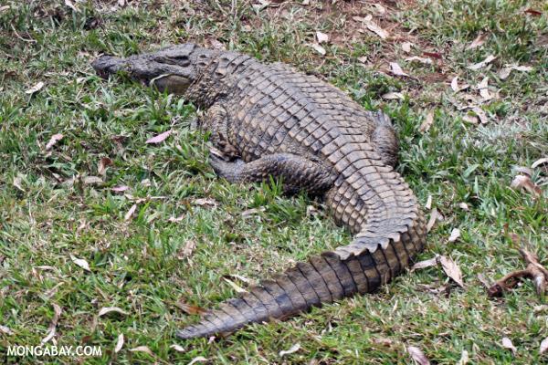 Madagascar crocodile