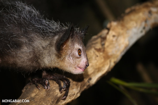 The aye-aye is listed as Endangered by the IUCN Red List. Photo by: Rhett A. Butler.