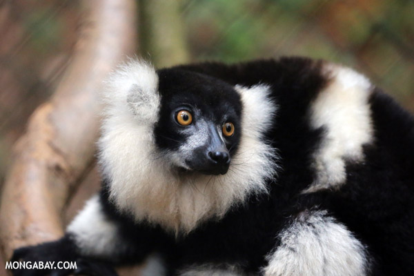 White-ruffed lemur (Varecia variegata)