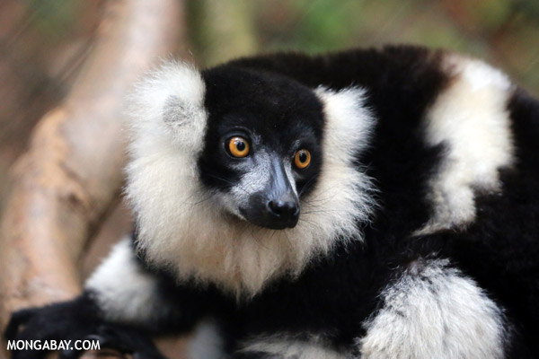 Black-and-white ruffed lemur (Varecia variegata), currently listed as Critically Endangered. Photo by: Rhett A. Butler.
