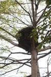 Hammerkop nest
