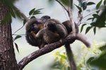 Group of common brown lemurs (Eulemur fulvus) huddled in the forest canopy [madagascar_0128]