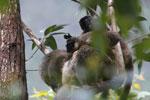 Common brown lemurs (Eulemur fulvus) [madagascar_0146]
