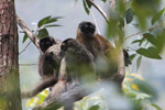 Common brown lemurs (Eulemur fulvus) [madagascar_0152]