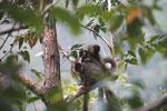 Common brown lemurs (Eulemur fulvus) [madagascar_0178]