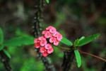 Crown of Thorns flower (Euphorbia milii)