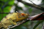 Parson's chameleon (Calumma parsonii) [yellow and orange] [madagascar_0218]