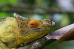 Parson's chameleon (Calumma parsonii) [yellow and orange] [madagascar_0219]