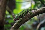 Calumma globifer chameleon (male) [madagascar_0256]