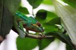 Male panther chameleon (Furcifer pardalis) [madagascar_0272]