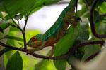 Male panther chameleon (Furcifer pardalis) [madagascar_0277]