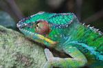 Male panther chameleon (Furcifer pardalis) [madagascar_0286]