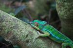Male panther chameleon (Furcifer pardalis) [madagascar_0290]