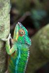 Male panther chameleon (Furcifer pardalis) [madagascar_0296]