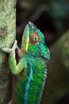 Male panther chameleon (Furcifer pardalis) [madagascar_0297]