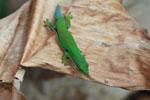 Four Spot Day Gecko (Phelsuma quadriocellata quadriocellata)