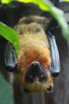 Madagascar Rousette (Rousettus madagascariensis) bat
