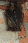 Madagascar fruit bat (Pteropus sp)