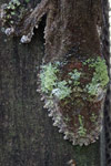 Mossy Leaftail Gecko (Uroplatus sikorae) [madagascar_0371]