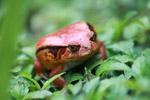 Tomato frog (Dyscophus antongilii) [madagascar_0405]