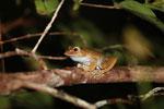 Boophis madagascariensis tree frog [madagascar_0473]