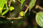Green Bright-eyed Frog (Boophis viridis)