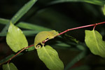 Short-nosed Chameleon (Calumma gastrotaenia) [madagascar_0557]