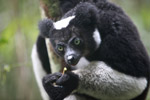 Indri lemur (Indri indri) [madagascar_0595a]