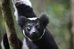 Indri lemur (Indri indri) [madagascar_0603a]