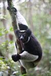 Indri lemur (Indri indri) [madagascar_0622]