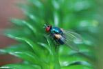 Red-eyed fly in Madagascar [madagascar_0688]