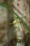 White orchid (Jumellea sp.)