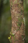 Mossy Leaf-tail Gecko (Uroplatus sikorae) [madagascar_0697]