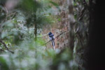 Male Madagascar Paradise-flycatcher (Terpsiphone mutata [madagascar_0706]