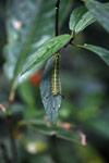 Black, yellow, and blue caterpillar [madagascar_0790]