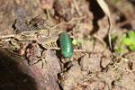 Juvenile Malagasy Emerald Green Pill Millipede (Sphaerotheriida) [madagascar_0905]