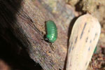 Juvenile Malagasy Emerald Green Pill Millipede (Sphaerotheriida) [madagascar_0908]