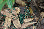 Juvenile Malagasy Emerald Pill Millipedes (Sphaerotheriida)