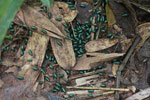 Juvenile Malagasy Emerald Pill Millipedes (Sphaerotheriida) [madagascar_0955]