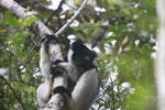 Indri in Perinet [madagascar_1190]