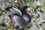 Indri in Perinet [madagascar_1211]