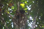Eastern woolly lemur [madagascar_1228]
