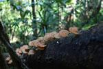Light orange fungi